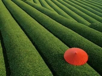 -downloadfiles-wallpapers-1600_1200-tea_fields_wallpaper_japan_world_1981